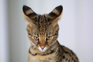 26889218_520pxSavannah_Cat_closeup