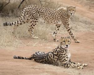 cheetah-pair_resized_width_9a0cb7140d57015ea2f98475533000fc_500_q95